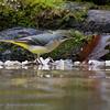 Grote gele kwikstaart; Motacilla cinerea; Grey wagtail; Bergeronnette des ruisseaux; Gebirgsstelze