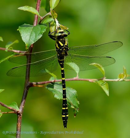 Gewone bronlibel; Cordulegaster boltonii; Goldenringed dragonfly; Zweigestreifte Quelljungfer; Cordulégastre annelé