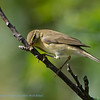 Fitis; Phylloscopus trochilus; Willow Warbler; Pouillot fitis
