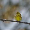 Emberiza citrinella; Goldammer; Yellowhammer; Bruant jaune; Geelgors; trekvogel