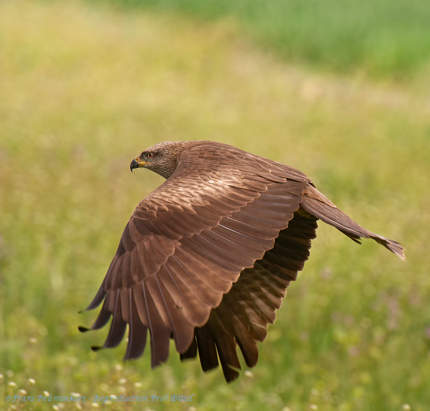 Milvus migrans; Schwarzmilan; Black Kite; Milan noir; Zwarte Wouw