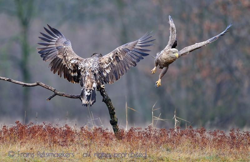 Zeearend; Haliaeetus albicilla; Seeadler; Whitetailed Eagle; Pygargue à queue blanche