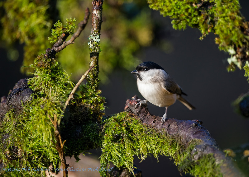 Glanskop; Poecile palustris; Parus palustris; Marsh tit; Mésange nonnette; Sumpfmeise