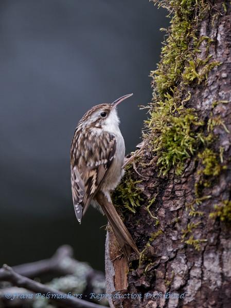 Certhia familiaris; Waldbaumlaufer; Treecreeper; Grimpereau des bois; Boomkruiper