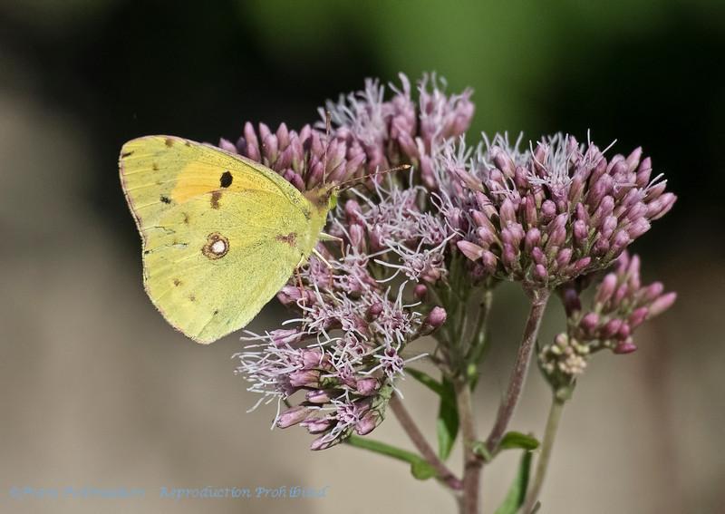 Luzernevlinder; Gele luzernevlinder; Colias hyale; Pale clouded yellow; Soufré; Goldene Acht