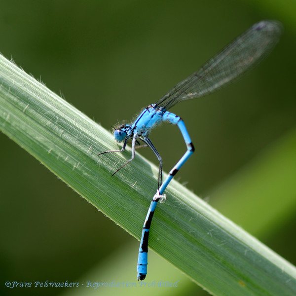 Watersnuffel; Enallagma cyathigerum; Common blue damselfly; Agrion portecoupe; Gemeine Becherjungfer