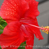 Hibiscus - Portland, Maine