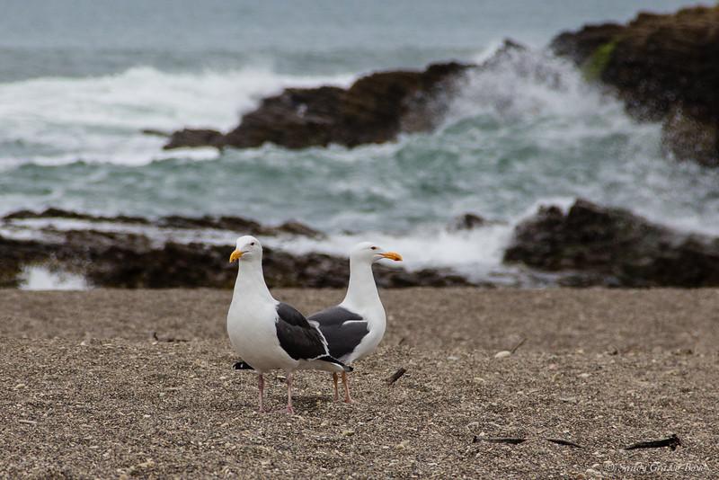 Two headed gull?