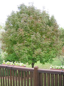 View of Red Ash Tree from Deck Fall 2004