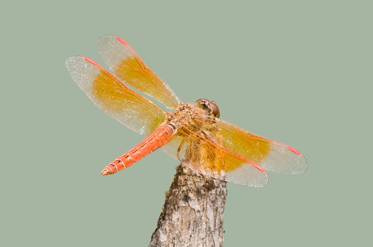 Coral-tailed Cloud Wing (Order Odonata, Family Libellulidae)