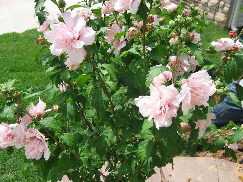 Closeup of Flowers on<BR> Lady Stanley Tree Althea - Pink Double