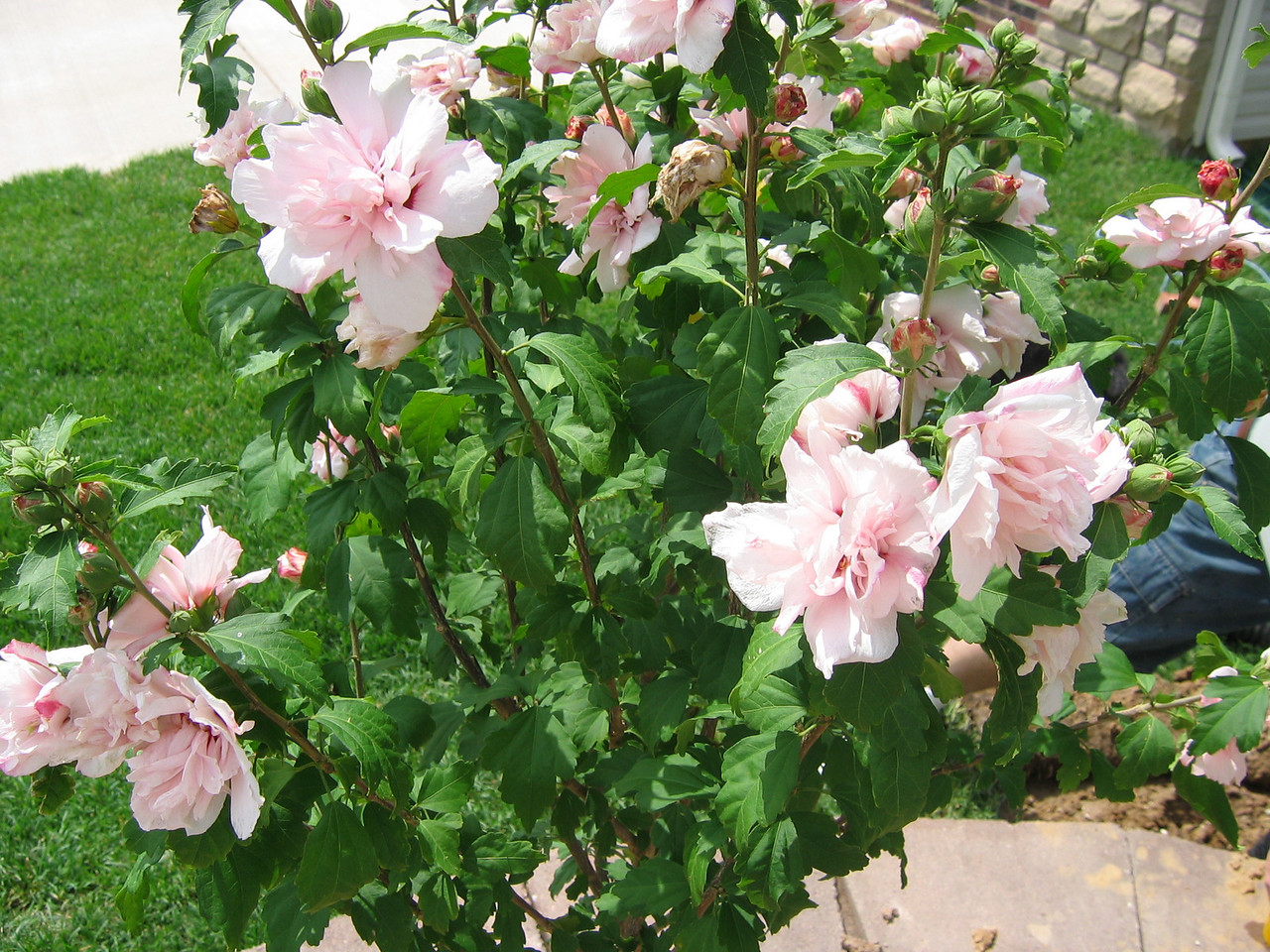 Closeup of Flowers on Lady Stanley Tree Althea - Pink Double