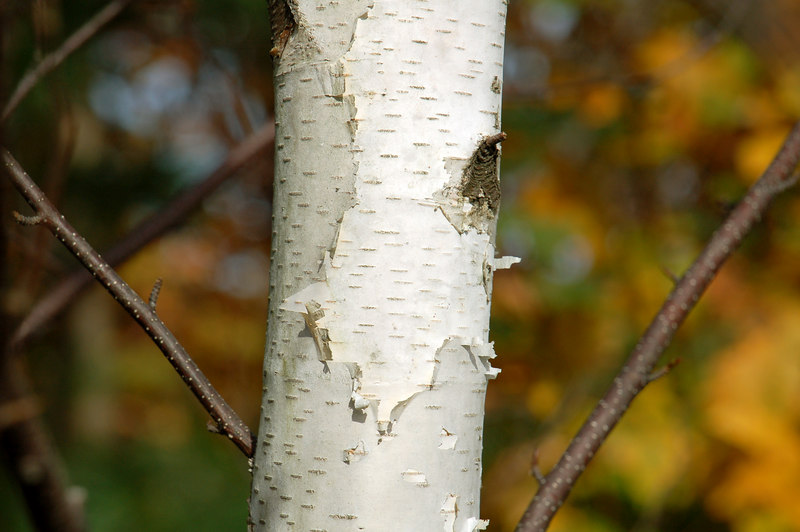 Birch Tree on Bee Hill Rd, Williamstown, MA