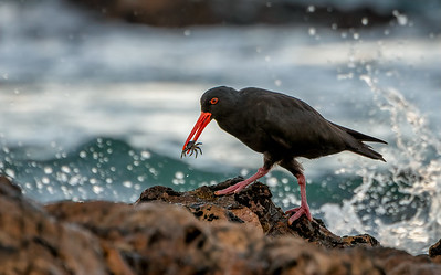 Sooty Oystercatcher at Surf Beach Rocks