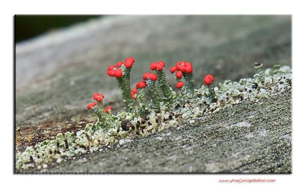 Lichen bloom