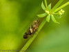 28 June 2012 Alder Spittlebug at Portchester Common.