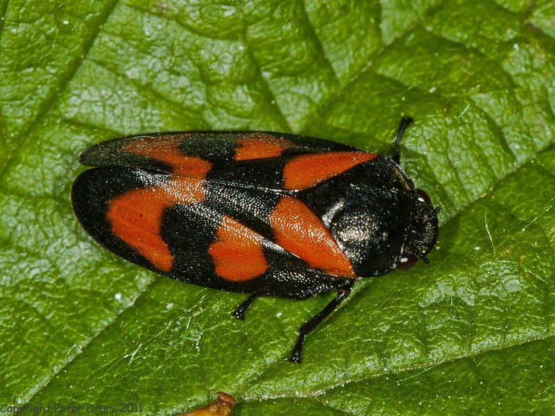 06 May 2011. Froghopper (Cercopis vulnerata) in the Chalk Quarry. Copyright Peter Drury 2011