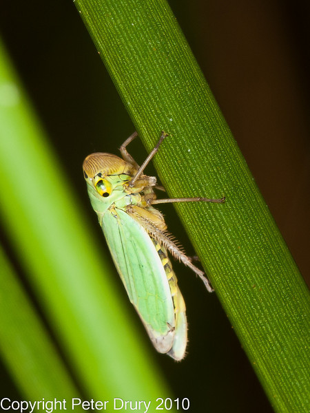 12 Sep 2010 -  Leafhopper (Cicadella viridis) seen at Creech Woods, Denmead. Copyright Peter Drury 2010