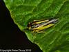 Evacanthus interruptus. Copyright Peter Drury 2010
