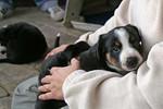 Van het Bressershof - Puppy's - kleine foto's voor website
