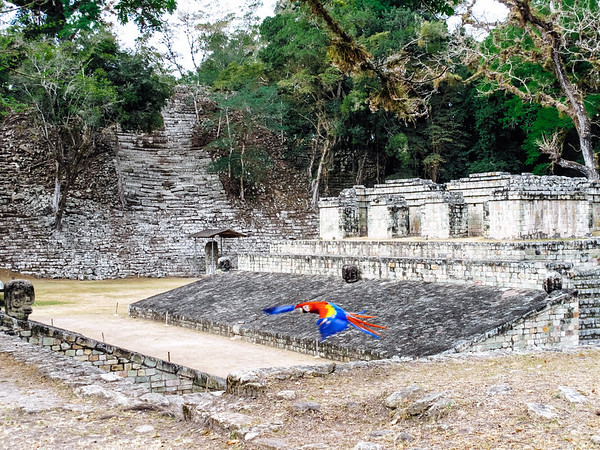 Parrot flying over the ruins at the Copan Archaeological Park in Honduras.