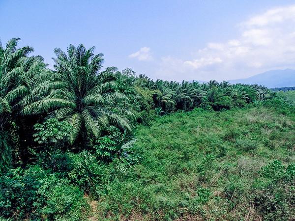 Tropical trees in Honduras.