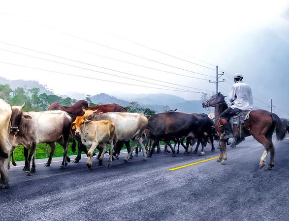 Cows in a street in Honduras.