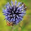 Honey Bee on Ruthenian Globe Thistle 4