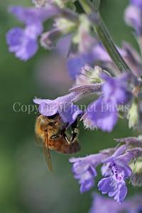 Honey Bee on Catmint 2