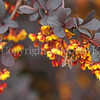 Honey Bee on Japanese Barberry 1