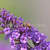 Honey Bee on Butterfly Bush 1