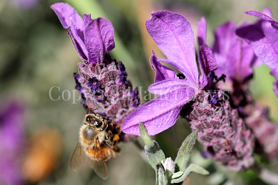 Honey Bee on Spanish Lavender 5