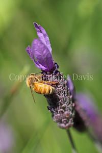 Honey Bee on Spanish Lavender 6