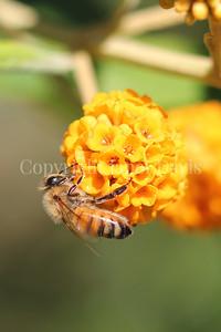 Honey Bee on Orange-Ball Buddleia 4