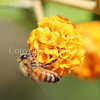 Honey Bee on Orange-Ball Buddleia 4