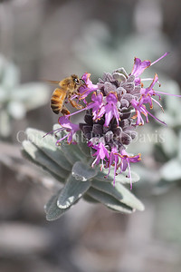 Honey Bee on 'Amethyst' Purple Sage