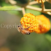 Honey Bee on Orange-Ball Buddleia 3