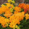 Honey Bee on Butterfly Milkweed 2