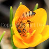Honey Bee on Golden Crocus