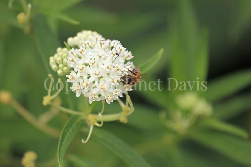 Honey Bee on 'Ice Ballet' Swamp Milkweed 1