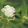Honey Bee on 'Ice Ballet' Swamp Milkweed 1