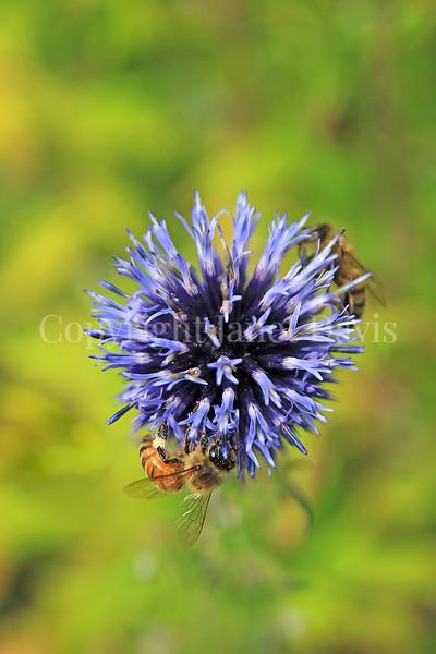 Honey Bee on Ruthenian Globe Thistle 1