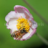 Honey Bee on Japanese Anemone 2
