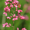 Honey Bee on 'Lillian's Pink' Coral Bells 1