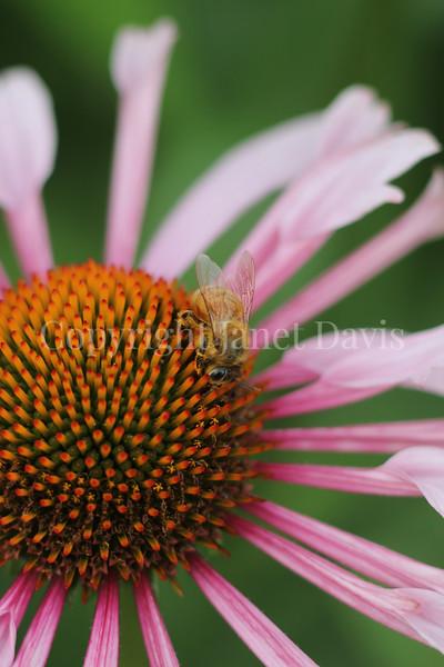 Honey Bee on Echinacea 'Quills and Thrills' 1