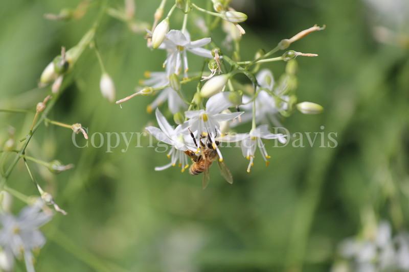 Honey Bee on Anthericum 2