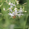 Honey Bee on Anthericum 2