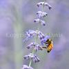 Honey Bee on Russian Sage 5