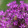 Honey Bee on Allium 'Purple Sensation' 1