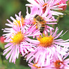 Honey Bee on 'Harrington's Pink' New England Aster